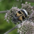 Raštuotasis auksavabalis - Trichius fasciatus | Fotografijos autorius : Vytautas Gluoksnis | © Macrogamta.lt | Šis tinklapis priklauso bendruomenei kuri domisi makro fotografija ir fotografuoja gyvąjį makro pasaulį.