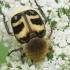 Raštuotasis auksavabalis - Trichius fasciatus | Fotografijos autorius : Vidas Brazauskas | © Macrogamta.lt | Šis tinklapis priklauso bendruomenei kuri domisi makro fotografija ir fotografuoja gyvąjį makro pasaulį.