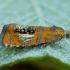 Raštuotasis oletreutas - Olethreutes arcuella | Fotografijos autorius : Žilvinas Pūtys | © Macrogamta.lt | Šis tinklapis priklauso bendruomenei kuri domisi makro fotografija ir fotografuoja gyvąjį makro pasaulį.