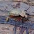 Raudonšlaunis puošniažygis - Carabus cancellatus | Fotografijos autorius : Romas Ferenca | © Macrogamta.lt | Šis tinklapis priklauso bendruomenei kuri domisi makro fotografija ir fotografuoja gyvąjį makro pasaulį.