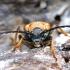 Raudonasis žieduolis - Stictoleptura rubra ♀ | Fotografijos autorius : Romas Ferenca | © Macrogamta.lt | Šis tinklapis priklauso bendruomenei kuri domisi makro fotografija ir fotografuoja gyvąjį makro pasaulį.