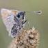 Raudonbuožis arba geltonasis storgalvis   Fotografijos autorius : Darius Baužys   © Macrogamta.lt   Šis tinklapis priklauso bendruomenei kuri domisi makro fotografija ir fotografuoja gyvąjį makro pasaulį.