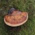 Raudonkraštė pintainė - Fomitopsis pinicola | Fotografijos autorius : Vidas Brazauskas | © Macrogamta.lt | Šis tinklapis priklauso bendruomenei kuri domisi makro fotografija ir fotografuoja gyvąjį makro pasaulį.