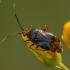 Raudonoji žolblakė - Deraeocoris ruber | Fotografijos autorius : Žilvinas Pūtys | © Macrogamta.lt | Šis tinklapis priklauso bendruomenei kuri domisi makro fotografija ir fotografuoja gyvąjį makro pasaulį.