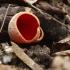 Plačiataurė - Sarcoscypha sp. | Fotografijos autorius : Vidas Brazauskas | © Macrogamta.lt | Šis tinklapis priklauso bendruomenei kuri domisi makro fotografija ir fotografuoja gyvąjį makro pasaulį.