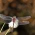 Raudonoji skėtė - Leucorrhinia rubicunda | Fotografijos autorius : Vidas Brazauskas | © Macrogamta.lt | Šis tinklapis priklauso bendruomenei kuri domisi makro fotografija ir fotografuoja gyvąjį makro pasaulį.