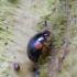 Raudonpetis kerpvabalis - Anisotoma humeralis   Fotografijos autorius : Romas Ferenca   © Macrogamta.lt   Šis tinklapis priklauso bendruomenei kuri domisi makro fotografija ir fotografuoja gyvąjį makro pasaulį.