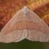 Raudonsprindis - Hylaea fasciaria ♂ | Fotografijos autorius : Žilvinas Pūtys | © Macrogamta.lt | Šis tinklapis priklauso bendruomenei kuri domisi makro fotografija ir fotografuoja gyvąjį makro pasaulį.