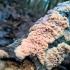Raukšliagrybis - Phlebia rufa | Fotografijos autorius : Agnė Kulpytė | © Macrogamta.lt | Šis tinklapis priklauso bendruomenei kuri domisi makro fotografija ir fotografuoja gyvąjį makro pasaulį.