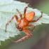 Rausvapilvis kryžiuotis - Araneus alsine ♂   Fotografijos autorius : Kazimieras Martinaitis   © Macrogamta.lt   Šis tinklapis priklauso bendruomenei kuri domisi makro fotografija ir fotografuoja gyvąjį makro pasaulį.