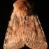 Rausvarudis pavasarinis dirvinukas - Cerastis rubricosa | Fotografijos autorius : Ramunė Vakarė | © Macrogamta.lt | Šis tinklapis priklauso bendruomenei kuri domisi makro fotografija ir fotografuoja gyvąjį makro pasaulį.