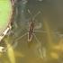 Rausvasis čiuožikas - Limnoporus rufoscutellatus | Fotografijos autorius : Vytautas Tamutis | © Macrogamta.lt | Šis tinklapis priklauso bendruomenei kuri domisi makro fotografija ir fotografuoja gyvąjį makro pasaulį.