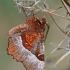 Rausvasis mėnuliasprindis - Selenia tetralunaria | Fotografijos autorius : Gintautas Steiblys | © Macrogamta.lt | Šis tinklapis priklauso bendruomenei kuri domisi makro fotografija ir fotografuoja gyvąjį makro pasaulį.