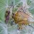 Rausvasparnė skydblakė | Carpocoris purpureipennis | Fotografijos autorius : Darius Baužys | © Macrogamta.lt | Šis tinklapis priklauso bendruomenei kuri domisi makro fotografija ir fotografuoja gyvąjį makro pasaulį.