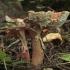 Rausvoji musmirė - Amanita rubescens | Fotografijos autorius : Vytautas Gluoksnis | © Macrogamta.lt | Šis tinklapis priklauso bendruomenei kuri domisi makro fotografija ir fotografuoja gyvąjį makro pasaulį.