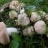 Rusvoji rusvė - Rhodocybe gemina   Fotografijos autorius : Vitalij Drozdov   © Macrogamta.lt   Šis tinklapis priklauso bendruomenei kuri domisi makro fotografija ir fotografuoja gyvąjį makro pasaulį.