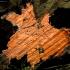 Rausvoji vaškuotė - Peniophora incarnata | Fotografijos autorius : Aleksandras Stabrauskas | © Macrogamta.lt | Šis tinklapis priklauso bendruomenei kuri domisi makro fotografija ir fotografuoja gyvąjį makro pasaulį.