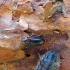 Reliktinis niūravabalis - Zilora obscura | Fotografijos autorius : Vitalii Alekseev | © Macrogamta.lt | Šis tinklapis priklauso bendruomenei kuri domisi makro fotografija ir fotografuoja gyvąjį makro pasaulį.