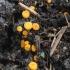 Verpsčiasporė bisonektrija - Byssonectria fusispora | Fotografijos autorius : Vytautas Gluoksnis | © Macrogamta.lt | Šis tinklapis priklauso bendruomenei kuri domisi makro fotografija ir fotografuoja gyvąjį makro pasaulį.
