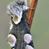 Rožinis pūkanugaris - Thyatira batis | Fotografijos autorius : Arūnas Eismantas | © Macrogamta.lt | Šis tinklapis priklauso bendruomenei kuri domisi makro fotografija ir fotografuoja gyvąjį makro pasaulį.