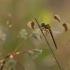 Rudajuostė skėtė - Sympetrum pedemontanum   Fotografijos autorius : Agnė Našlėnienė   © Macrogamta.lt   Šis tinklapis priklauso bendruomenei kuri domisi makro fotografija ir fotografuoja gyvąjį makro pasaulį.