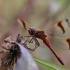 Rudajuostė skėtė - Sympetrum pedemontanum | Fotografijos autorius : Agnė Našlėnienė | © Macrogamta.lt | Šis tinklapis priklauso bendruomenei kuri domisi makro fotografija ir fotografuoja gyvąjį makro pasaulį.