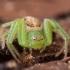 Rudasis lapavoris - Diaea dorsata ♀ | Fotografijos autorius : Žilvinas Pūtys | © Macrogamta.lt | Šis tinklapis priklauso bendruomenei kuri domisi makro fotografija ir fotografuoja gyvąjį makro pasaulį.
