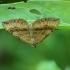 Rudasis pievasprindis - Scotopteryx chenopodiata | Fotografijos autorius : Vidas Brazauskas | © Macrogamta.lt | Šis tinklapis priklauso bendruomenei kuri domisi makro fotografija ir fotografuoja gyvąjį makro pasaulį.