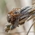 Rudasis raizginiuotis   Agalenatea redii   Fotografijos autorius : Darius Baužys   © Macrogamta.lt   Šis tinklapis priklauso bendruomenei kuri domisi makro fotografija ir fotografuoja gyvąjį makro pasaulį.