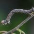 Rudasis rudeninis sprindžius - Colotois pennaria, vikšras  | Fotografijos autorius : Kazimieras Martinaitis | © Macrogamta.lt | Šis tinklapis priklauso bendruomenei kuri domisi makro fotografija ir fotografuoja gyvąjį makro pasaulį.
