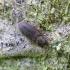 Rudasis siauravabalis - Synchita humeralis | Fotografijos autorius : Romas Ferenca | © Macrogamta.lt | Šis tinklapis priklauso bendruomenei kuri domisi makro fotografija ir fotografuoja gyvąjį makro pasaulį.
