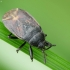Rudoji dirvablakė - Drymus brunneus ? | Fotografijos autorius : Vidas Brazauskas | © Macrogamta.lt | Šis tinklapis priklauso bendruomenei kuri domisi makro fotografija ir fotografuoja gyvąjį makro pasaulį.