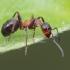 Rudoji miško skruzdėlė - Formica rufa | Fotografijos autorius : Gintautas Steiblys | © Macrogamta.lt | Šis tinklapis priklauso bendruomenei kuri domisi makro fotografija ir fotografuoja gyvąjį makro pasaulį.