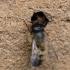 Rudoji osmija - Osmia rufa | Fotografijos autorius : Zita Gasiūnaitė | © Macrogamta.lt | Šis tinklapis priklauso bendruomenei kuri domisi makro fotografija ir fotografuoja gyvąjį makro pasaulį.