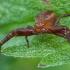 Ruožuotasis krabvoris - Xysticus bifasciatus ♀   Fotografijos autorius : Žilvinas Pūtys   © Macrogamta.lt   Šis tinklapis priklauso bendruomenei kuri domisi makro fotografija ir fotografuoja gyvąjį makro pasaulį.