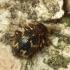 Rusvasis voravabalis - Ptinus rufipes   Fotografijos autorius : Vidas Brazauskas   © Macrogamta.lt   Šis tinklapis priklauso bendruomenei kuri domisi makro fotografija ir fotografuoja gyvąjį makro pasaulį.