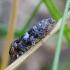 Rusvoji epinocija - Epinotia rubiginosana | Fotografijos autorius : Romas Ferenca | © Macrogamta.lt | Šis tinklapis priklauso bendruomenei kuri domisi makro fotografija ir fotografuoja gyvąjį makro pasaulį.