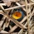 Ryškioji gražiataurė - Caloscypha fulgens | Fotografijos autorius : Žygimantas Obelevičius | © Macrogamta.lt | Šis tinklapis priklauso bendruomenei kuri domisi makro fotografija ir fotografuoja gyvąjį makro pasaulį.