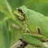 Rytinė medvarlė - Hyla orientalis   Fotografijos autorius : Gintautas Steiblys   © Macrogamta.lt   Šis tinklapis priklauso bendruomenei kuri domisi makro fotografija ir fotografuoja gyvąjį makro pasaulį.
