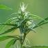Sėjamoji kanapė - Cannabis sativa | Fotografijos autorius : Gintautas Steiblys | © Macrogamta.lt | Šis tinklapis priklauso bendruomenei kuri domisi makro fotografija ir fotografuoja gyvąjį makro pasaulį.