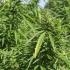 Sėjamoji kanapė - Cannabis sativa | Fotografijos autorius : Kazimieras Martinaitis | © Macrogamta.lt | Šis tinklapis priklauso bendruomenei kuri domisi makro fotografija ir fotografuoja gyvąjį makro pasaulį.