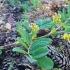 Saldžialapė kulkšnė - Astragalus glycyphyllos | Fotografijos autorius : Gintautas Steiblys | © Macrogamta.lt | Šis tinklapis priklauso bendruomenei kuri domisi makro fotografija ir fotografuoja gyvąjį makro pasaulį.