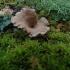 Samaninė arenija - Arrhenia spathulata | Fotografijos autorius : Vitalij Drozdov | © Macrogamta.lt | Šis tinklapis priklauso bendruomenei kuri domisi makro fotografija ir fotografuoja gyvąjį makro pasaulį.