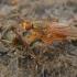 Mėšlamusė - Scathophaga suilla | Fotografijos autorius : Gintautas Steiblys | © Macrogamta.lt | Šis tinklapis priklauso bendruomenei kuri domisi makro fotografija ir fotografuoja gyvąjį makro pasaulį.