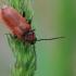 Paprastasis raudūnas - Pyrrhidium sanguineum  | Fotografijos autorius : Gintautas Steiblys | © Macrogamta.lt | Šis tinklapis priklauso bendruomenei kuri domisi makro fotografija ir fotografuoja gyvąjį makro pasaulį.
