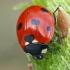 Septyntaškė boružė - Coccinella septempunctata   Fotografijos autorius : Gintautas Steiblys   © Macrogamta.lt   Šis tinklapis priklauso bendruomenei kuri domisi makro fotografija ir fotografuoja gyvąjį makro pasaulį.