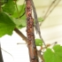 Serbentinis skydamaris (Parthenolecanium corni) | Fotografijos autorius : Vytautas Tamutis | © Macrogamta.lt | Šis tinklapis priklauso bendruomenei kuri domisi makro fotografija ir fotografuoja gyvąjį makro pasaulį.