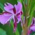 Siauralapis gaurometis - Chamaenerion angustifolium | Fotografijos autorius : Gintautas Steiblys | © Macrogamta.lt | Šis tinklapis priklauso bendruomenei kuri domisi makro fotografija ir fotografuoja gyvąjį makro pasaulį.