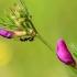 Siauralapis vikis - Vicia sativa subsp. nigra | Fotografijos autorius : Ramunė Vakarė | © Macrogamta.lt | Šis tinklapis priklauso bendruomenei kuri domisi makro fotografija ir fotografuoja gyvąjį makro pasaulį.