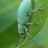 Lapinukas - Phyllobius viridaeris | Fotografijos autorius : Gintautas Steiblys | © Macrogamta.lt | Šis tinklapis priklauso bendruomenei kuri domisi makro fotografija ir fotografuoja gyvąjį makro pasaulį.